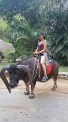 Tomas, an Asiatic buffalo